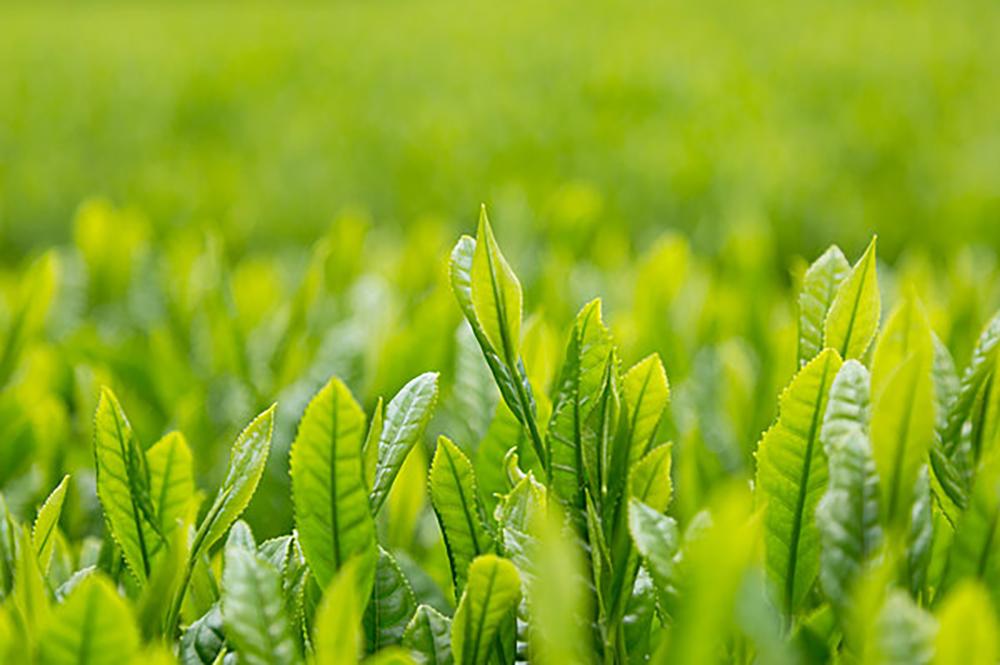 茶摘みの季節